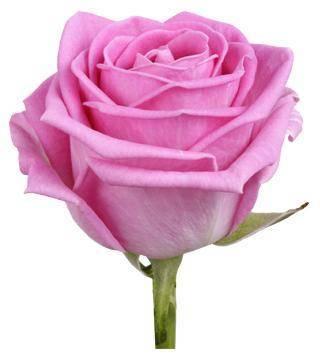 роза фото аква