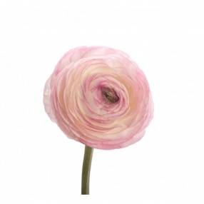 Ranunculus Kl Light Roze