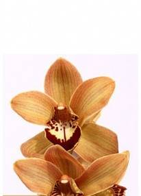 Orchid Branch Chocolat