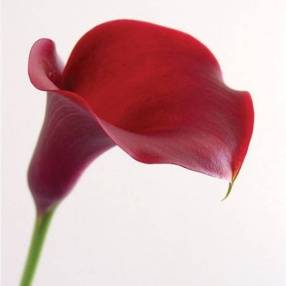 Zantedeschia 'Majestic Red'