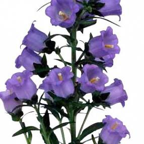 Campanula medium 'Champion Blue'