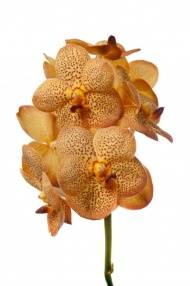 Vanda New Orange Magic