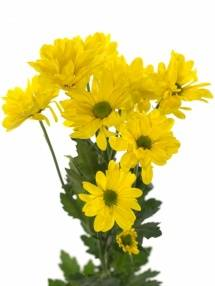 Chrysanthemum Indicum Grp tros kas Celebrate