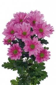 Chrysanthemum Indicum Grp tros kas Grand Pink