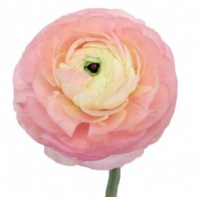 Ranunculus 'Pink Perfection'